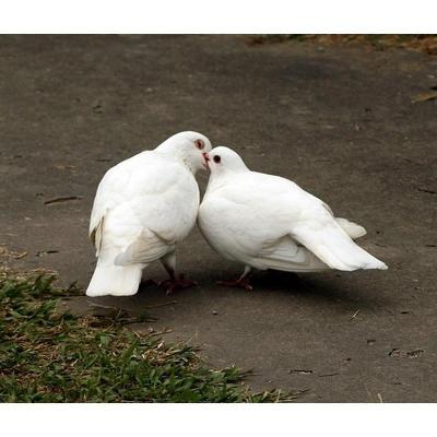 元宝鸽子一对观赏鸽青年鸽公斤肉鸽元宝种鸽成年二斤左右 落地王小鸽子一对