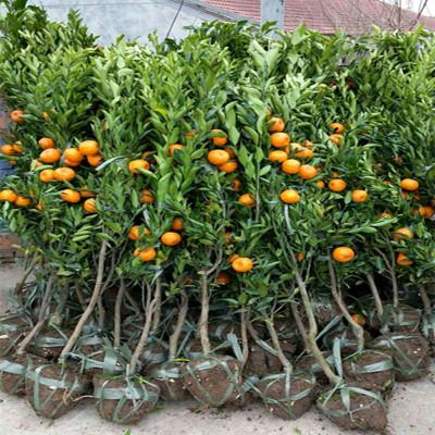 金桔樹四季桔觀賞小金橘樹苗室內盆栽綠植花卉金錢橘 帶果貨