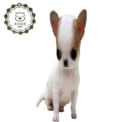 【定金】吉娃娃幼犬 小型純種 迷你犬 黃白花鐵包金黑白花異色 吉娃娃長不大 茶杯犬
