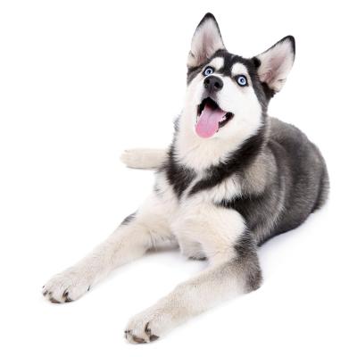 惟愿寵物旗艦店 純種哈士奇犬出售 活體 西伯利亞雪橇犬 雙血統哈士奇 證書芯片 藍眼三把火 二哈 視頻挑選 售后保障