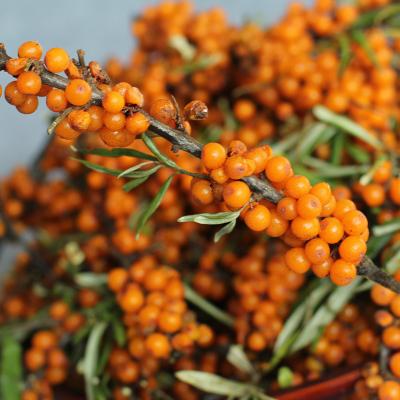 博多客新鲜沙棘果500g沙棘汁原料水果酵素非野生沙棘生鲜