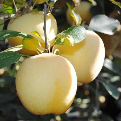 【48小時內發貨】【譽福園】山東煙臺脆甜奶油富士蘋果4.5斤裝小果約13-15個