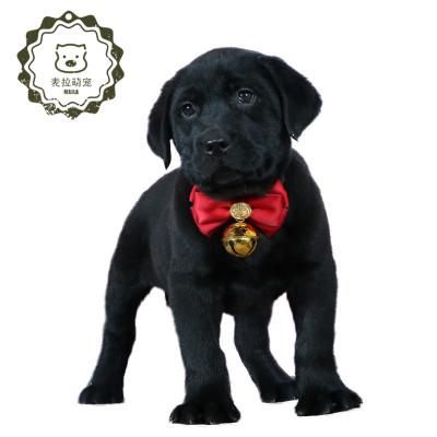 純種拉布拉多犬狗狗幼犬導盲犬神犬小七奶白色黑色中型犬金毛幼犬