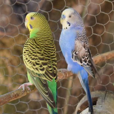 马特维(matewei)宠物活体虎皮鹦鹉宠物手养小鸟玄凤鹦鹉说话鸟白色虎皮1只