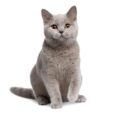 喜喵国际名猫|英短蓝猫 猫活体 宠物猫活体 猫咪活体 英国短毛猫 纯种宠物猫活体 小猫咪 英短幼猫幼崽银灰色猫猫活体