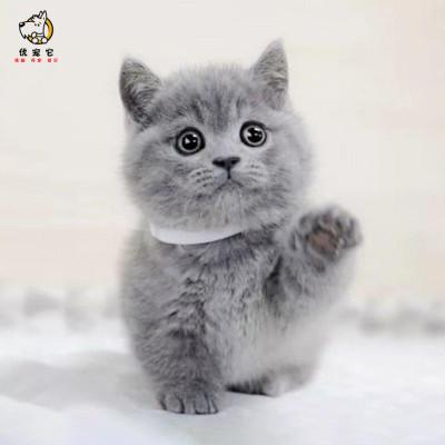 優寵它貓咪活物 藍貓 純種英國短毛貓寵物小貓咪 英短藍貓純種藍胖子矮腳貓妙三多疫苗驅蟲公母有視頻挑選