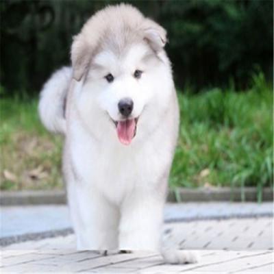 惟愿 純種阿拉斯加幼犬活體狗狗 巨型犬熊版阿拉斯加雪橇犬幼犬活體阿拉寶寶大型犬桃連巨型煙灰色阿拉斯加 定金