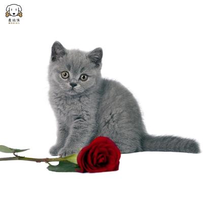 猫咪活体 纯种英国短毛猫 血统英短蓝猫 活体蓝猫蓝白宠物猫咪包健康 英短美短银渐层金渐层 虎斑猫加白起司猫布偶猫