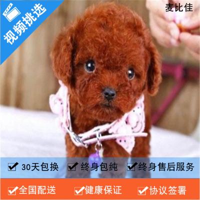 麥比佳 純種泰迪幼犬活體狗狗 茶杯型紅泰迪幼犬長不大的泰迪狗狗白色小型犬 雙血統賽級玩具型狗狗貴賓犬終身包純種