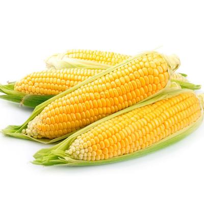 【2件免郵】云南水果玉米 新鮮蔬菜 香甜可口 凈重4.5斤裝(2件合發1件凈重9斤裝 偶數件發貨)