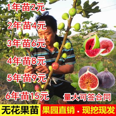 無花果樹苗盆栽地栽苗南方北方種植當年結果波姬紅布蘭瑞克水果苗