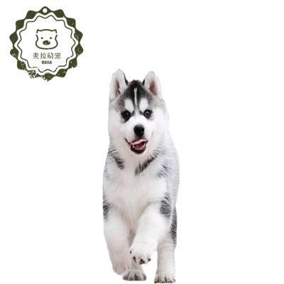 哈士奇純種幼犬 純種哈士奇狗狗 雪橇犬二哈幼犬 三火西伯利亞雪橇犬