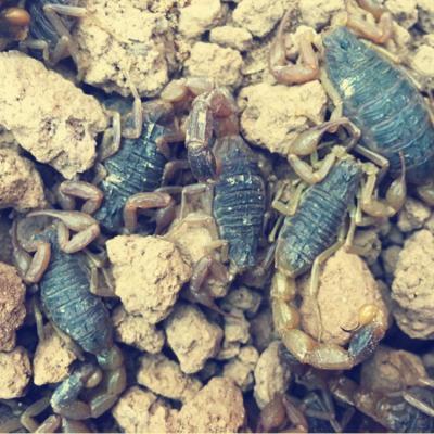 蝎子超大活蝎子野生蝎子泡酒油炸沂蒙十足全蝎 30条超大蝎子王(6-7cm)