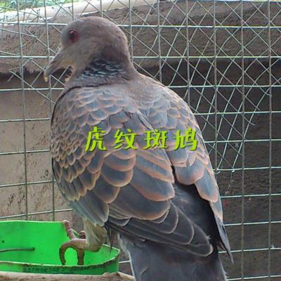 斑鸠一对家养斑鸠鸟类一对成年媒繁殖活物珠虎颈魔术鸽子白灰 1年虎斑1对漂亮又胖